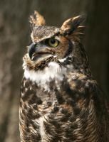 Great Horned Owl 20D0024808 by Cristian-M
