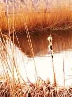 The bulrush pond by HiddenFeather
