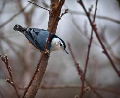 Winter White-breasted Nuthatch by LAlight