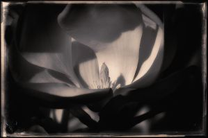 more magnolia by vw1956
