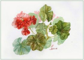 red pelargonium by kosharik69