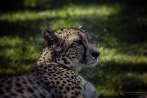 Cheetah, Stuttgart I by Areksim