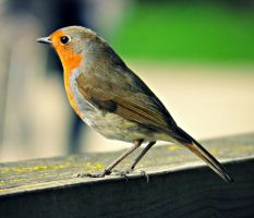 little Robin red breast by ImLauraa