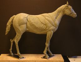 Horse Ecorche - Day 13 by aerie-