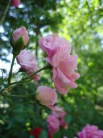 blossoms pinkish by Kitty-Amelie