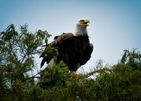 American Bald Eagle by Dretography