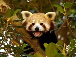 Red Panda i by weaverglenn