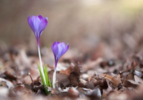 Crocus in the Wood by enaruna