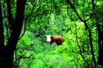 Bull in the Woods by LilArtist23