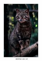European Wild Cat 2 by Dr-Koesters