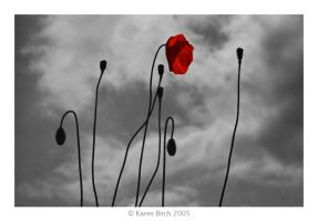 Moody Poppies by karenbirch