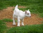 Baby Goat by j-ouroboros