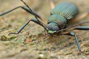 Darkling beetle by melvynyeo