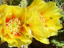 fly on cactus blossom by Paul774