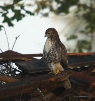 July Morning Hawk I by natureguy