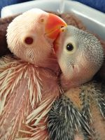 Baby Indian Ringnecks by Trinamon