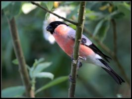 Bullfinch Male by cycoze