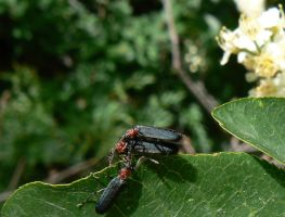 Beetles Behaving Badly by Son-of-Italy