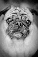 Sad Pug 14363816 by StockProject1