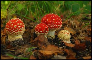 Fly Agarics coming out by jchanders