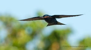 Purple Martin by FForns