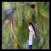 Barn swallow by Dominion-Photography