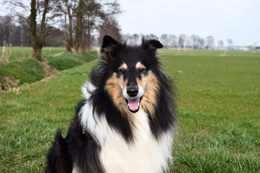 Rough Collie by MvGphotography