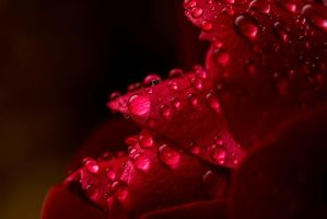 Roses and Rain by akrPhotography