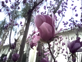 Tulip Tree Closeup by mouselady