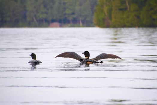 Loons by AmblingPhotographer