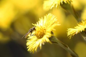 Hoverfly in a Coltsfoot by organicvision