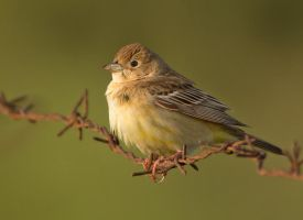 too many pies - black-headed bunting - female by Jamie-MacArthur