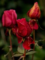 Frosted Roses by WestLothian