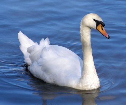 swan swims... by chop-stock