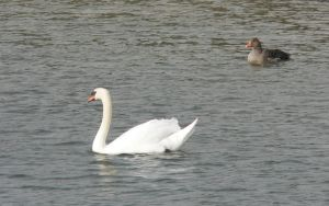 Swan and by RoyalScanners