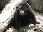 Squishy Faced Sun Bear by RedMedKit