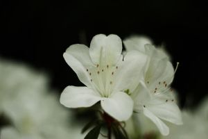 white flower by JaredKnowles