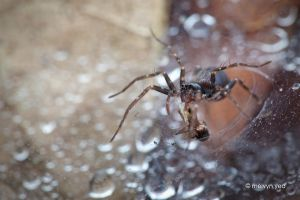 Wolf spider with prey by melvynyeo