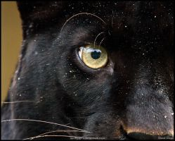 Eye of the... panther by Wolfling01