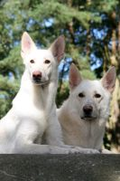White Shepherd duo by SaNNaS