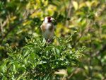 Gold finch by Jeff59