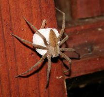 Nursery web spider by ShadeeWolf