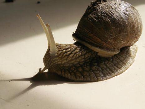 Snail 4 by achatinastock