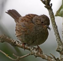 Baby Dunnock by piglet365