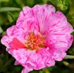 Candy Striped Portulaca by FlowerFreak