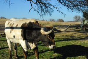 CatherineCross Long Horn Stock by CatherineCross