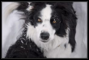Border Collie in the Snow by Kaessa