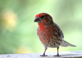 Red Headed Finch IV by PamplemousseCeil