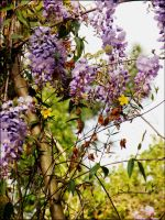 Wisteria. by Dark-and-Dreamless