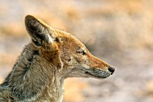 Botswana 2015 - Jackal best-side by Seb-Photos